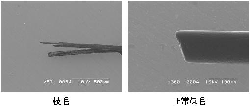 顕微鏡による枝毛の拡大図