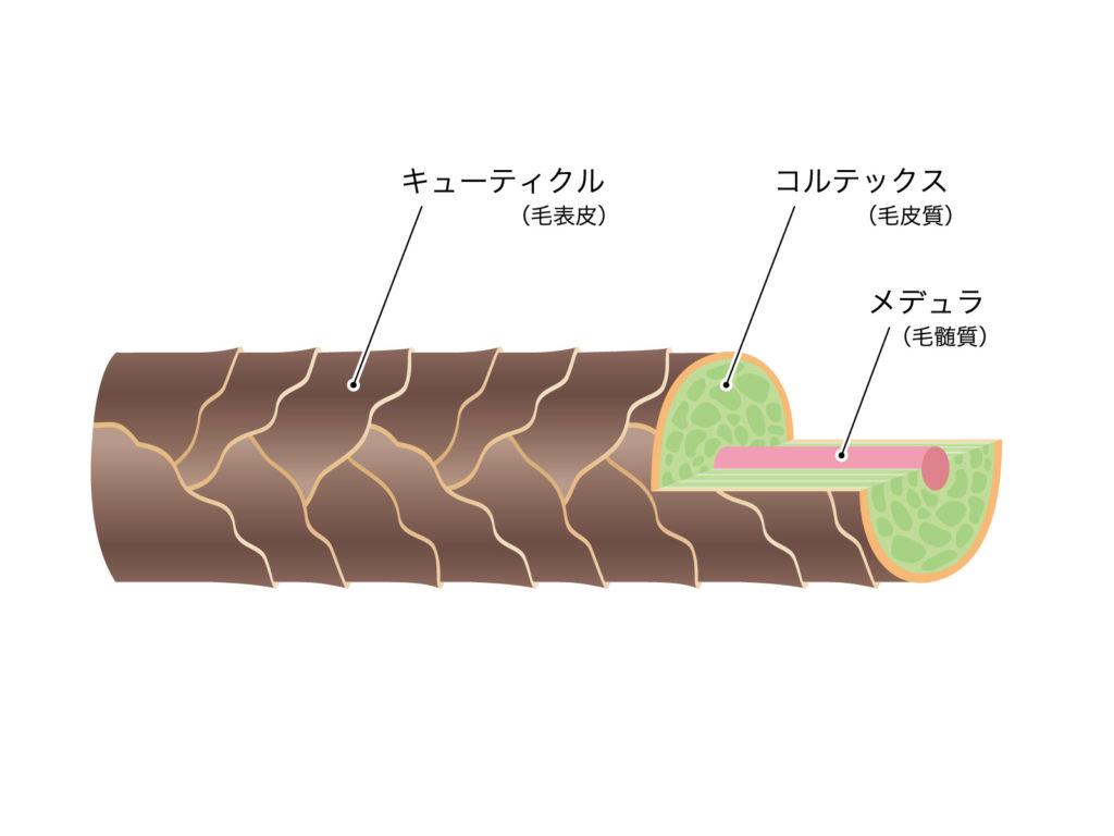 髪の三層構造 (illustAC)