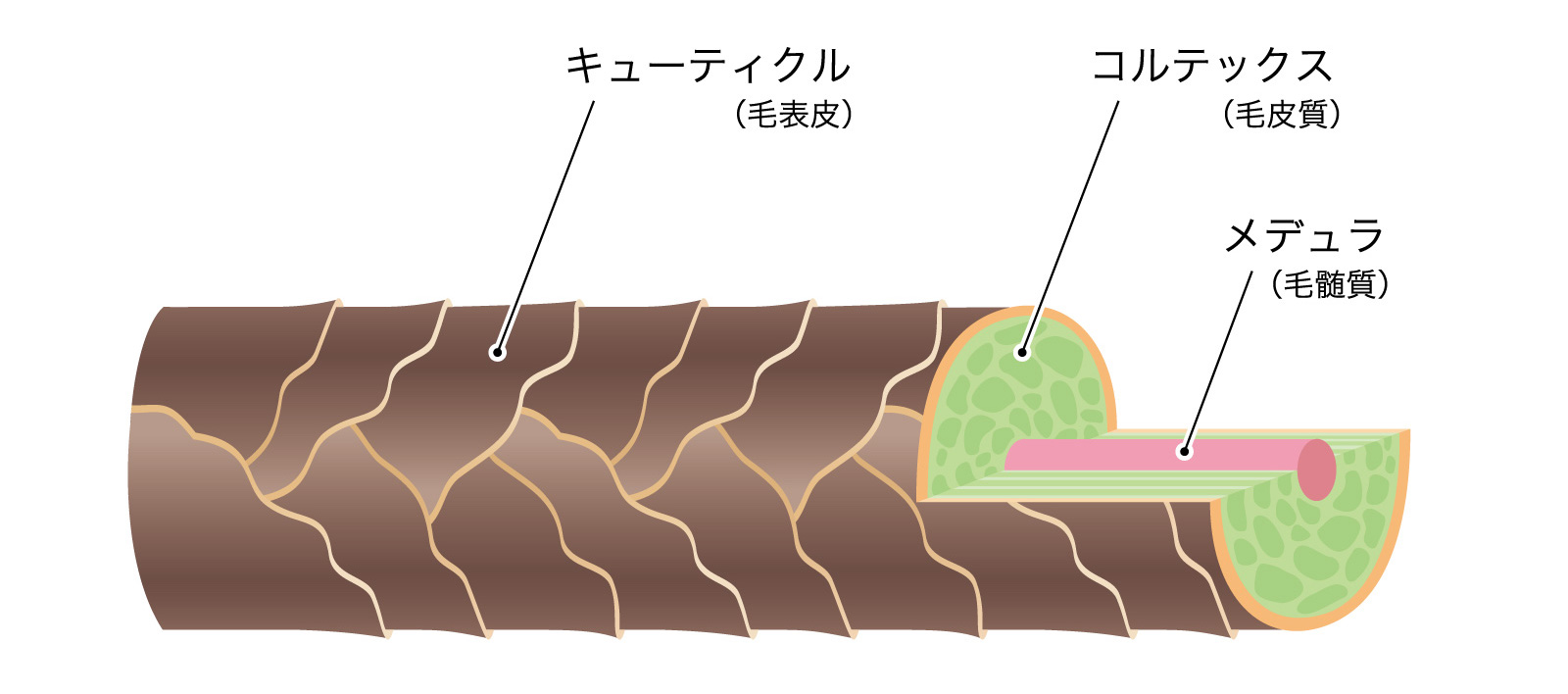 髪の髪の三層構造