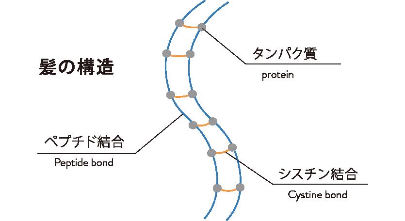 タンパク質のシスチン結合