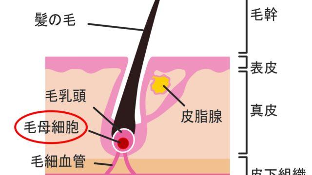 毛穴付近の構造と毛母細胞
